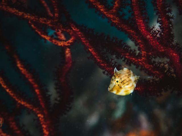 チラ見するアオサハギ(海中)の写真