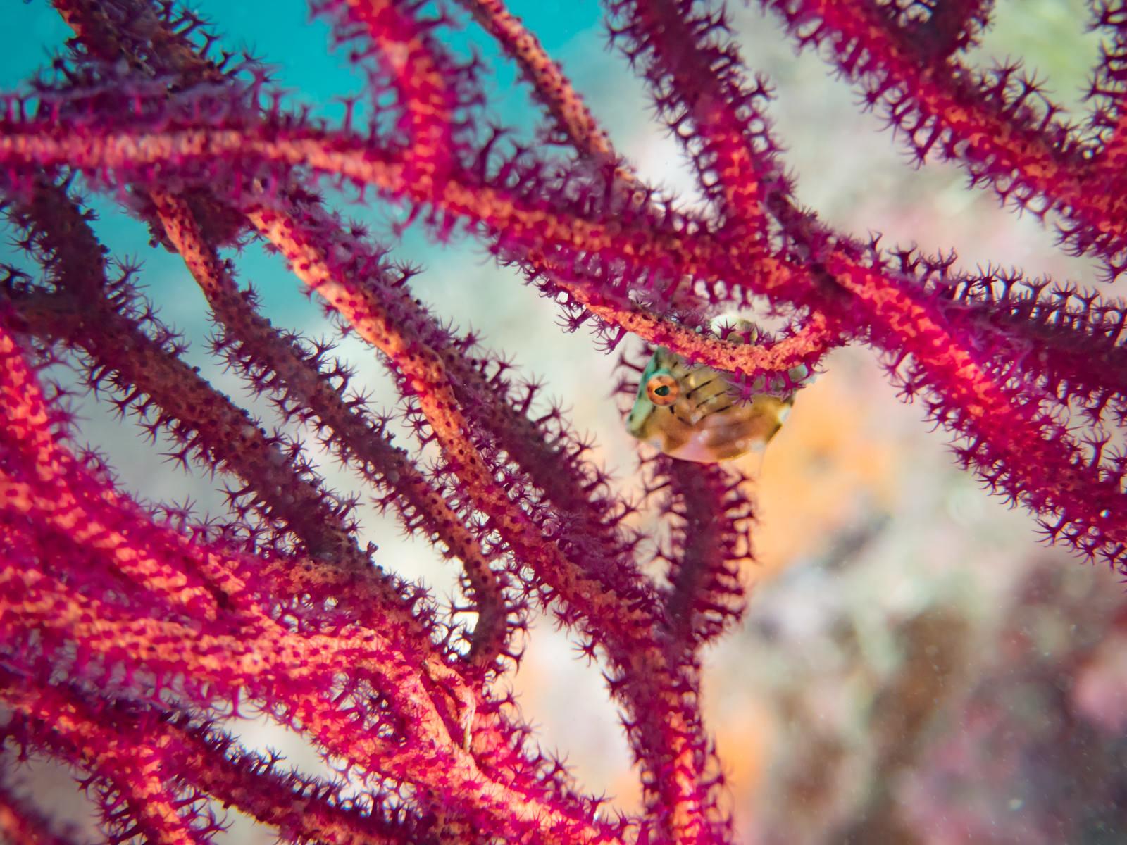 「珊瑚に隠れるアオサハギ」の写真