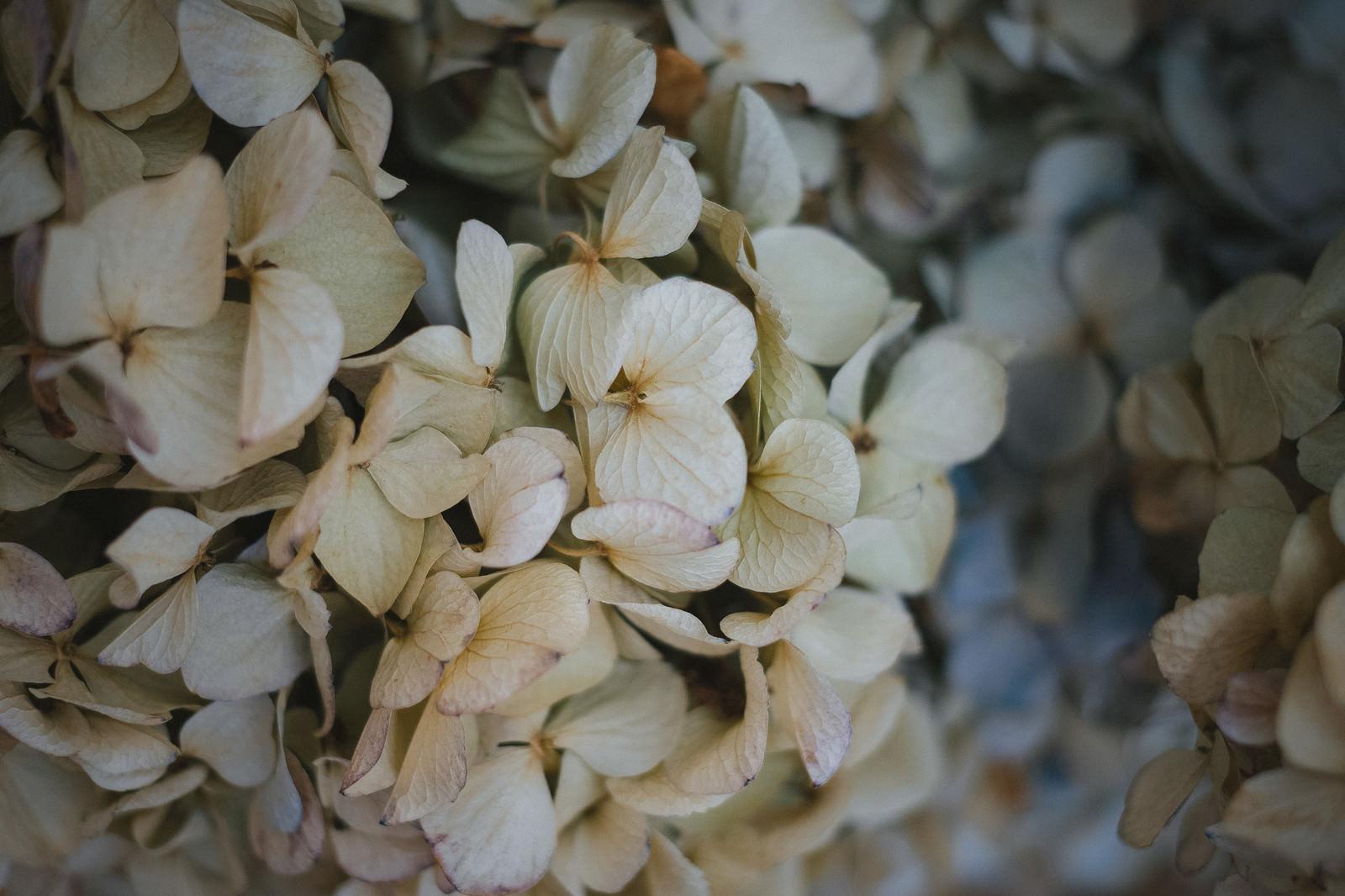 「梅雨明けの枯れた紫陽花」の写真