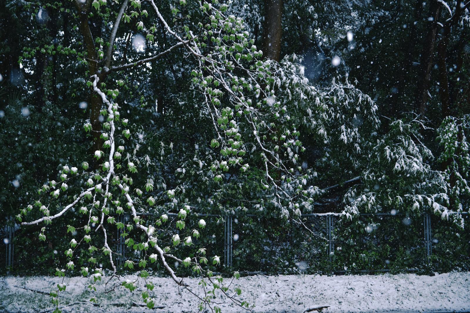 「新緑の葉に降り積もる季節外れの雪」の写真