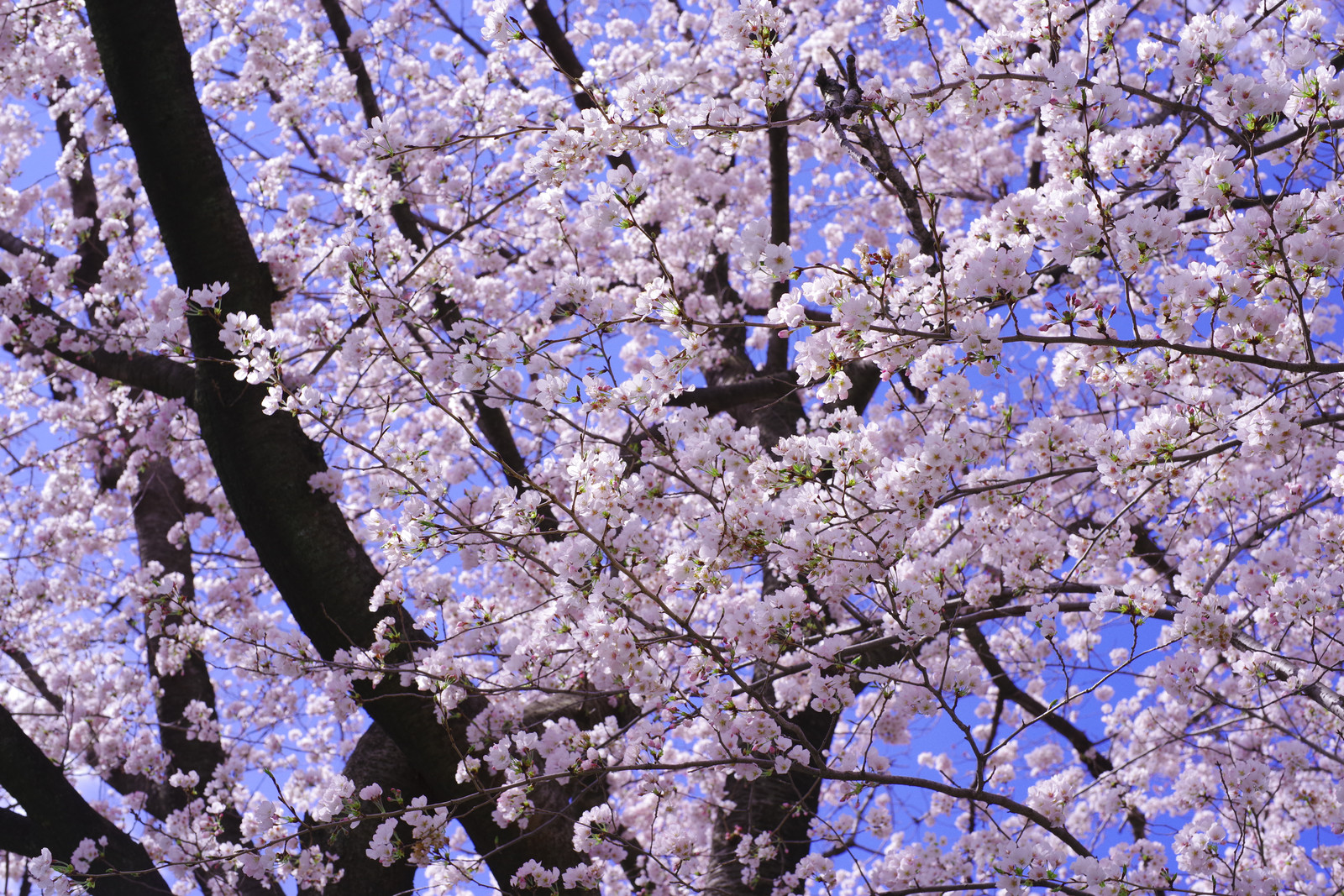 「春が来て満開に咲き誇るソメイヨシノ」の写真