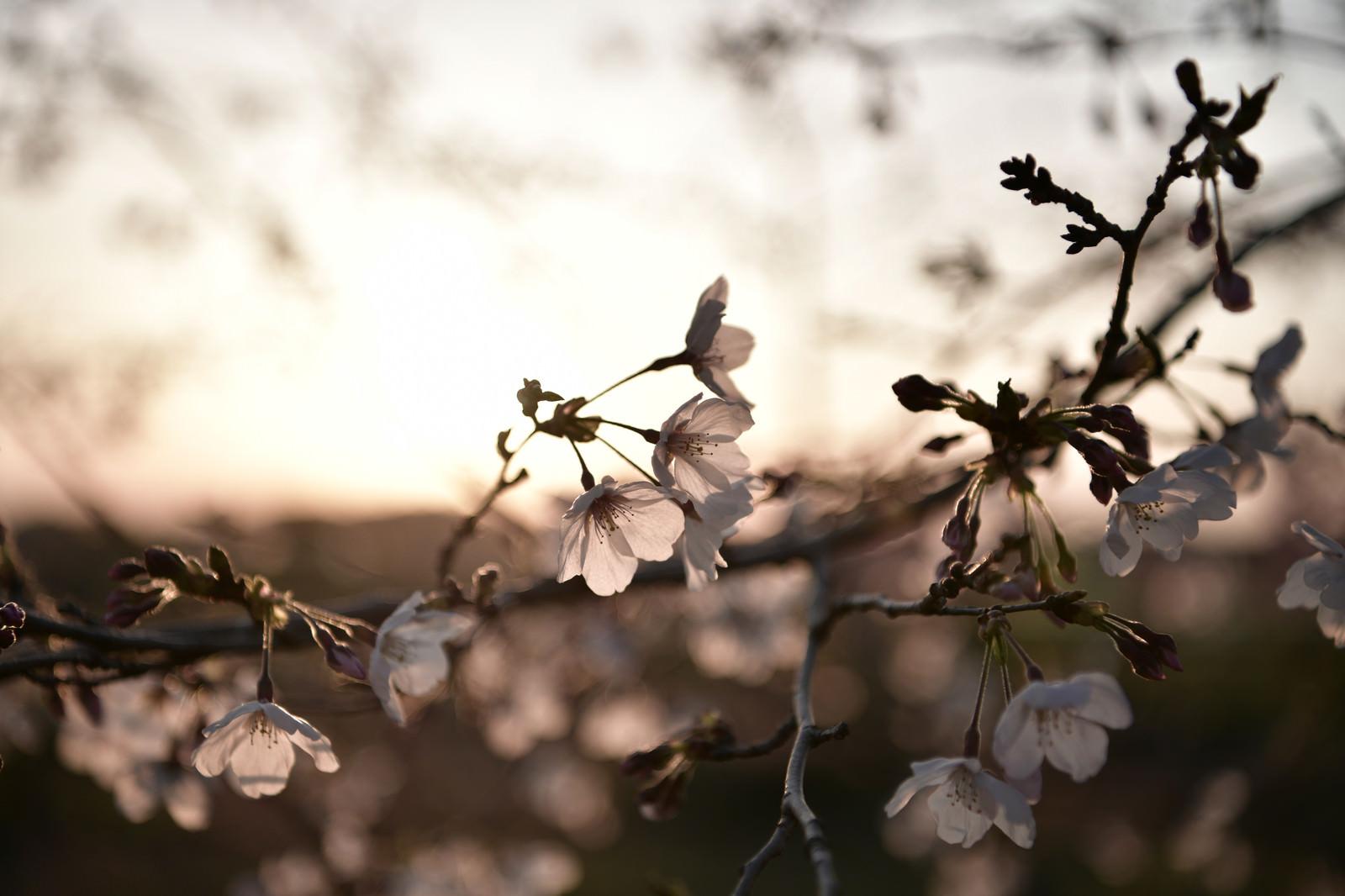 「春の夕日に浮かび上がる白いソメイヨシノ」の写真