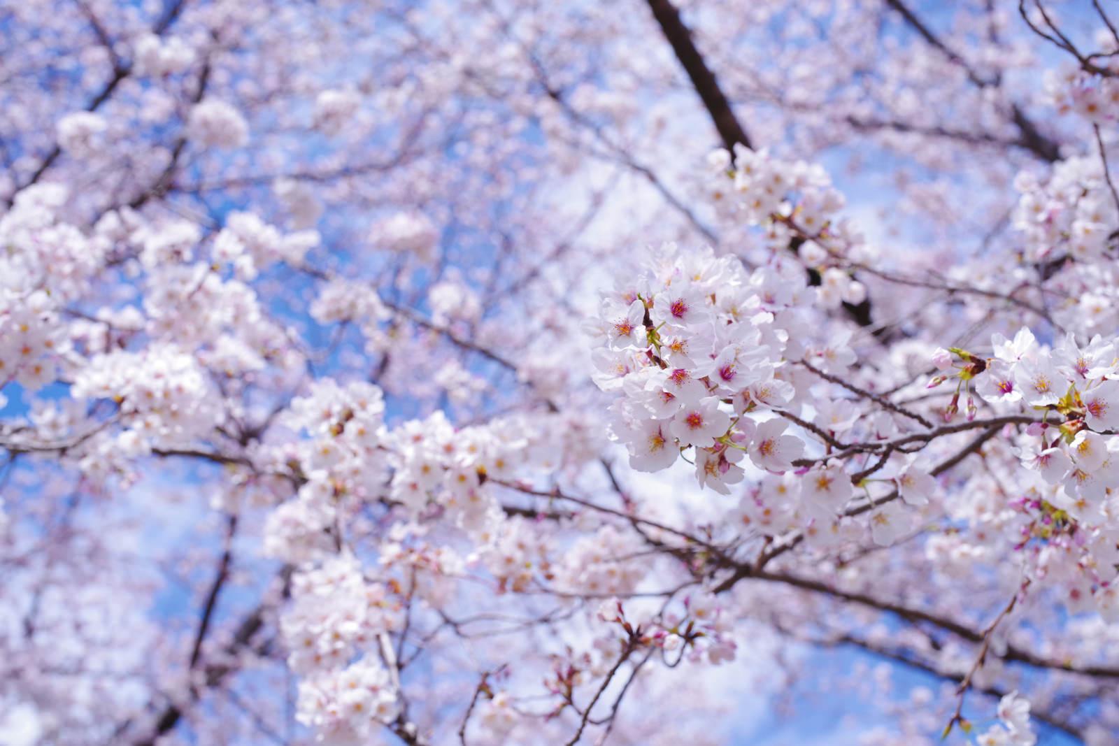 「春晴れの空の下で気持ちよく咲く咲きたてのソメイヨシノ」の写真