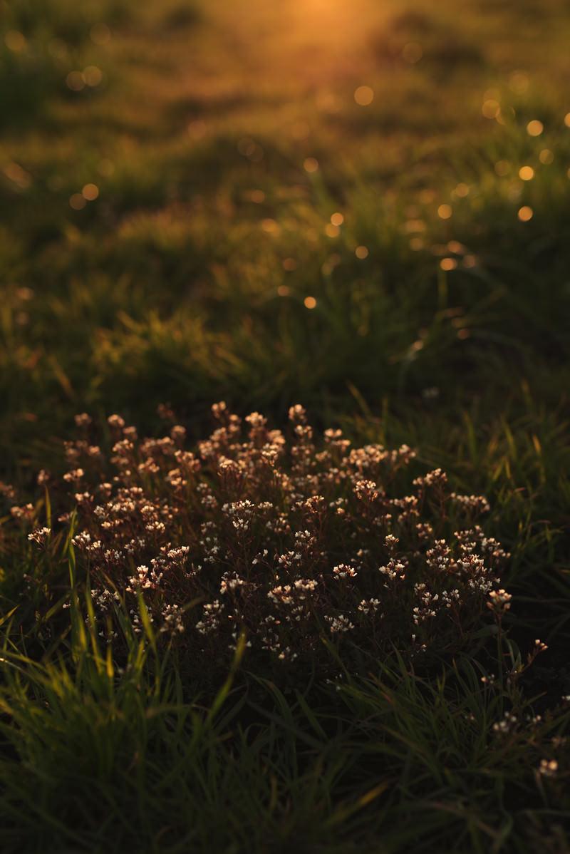「暮れる夕日に照らされる雑草の花」の写真
