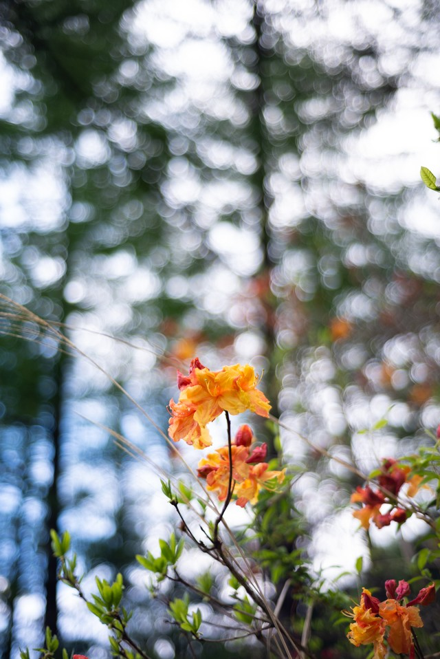 木々に囲まれ咲くエクスバリーアザレア(小沢根)の写真
