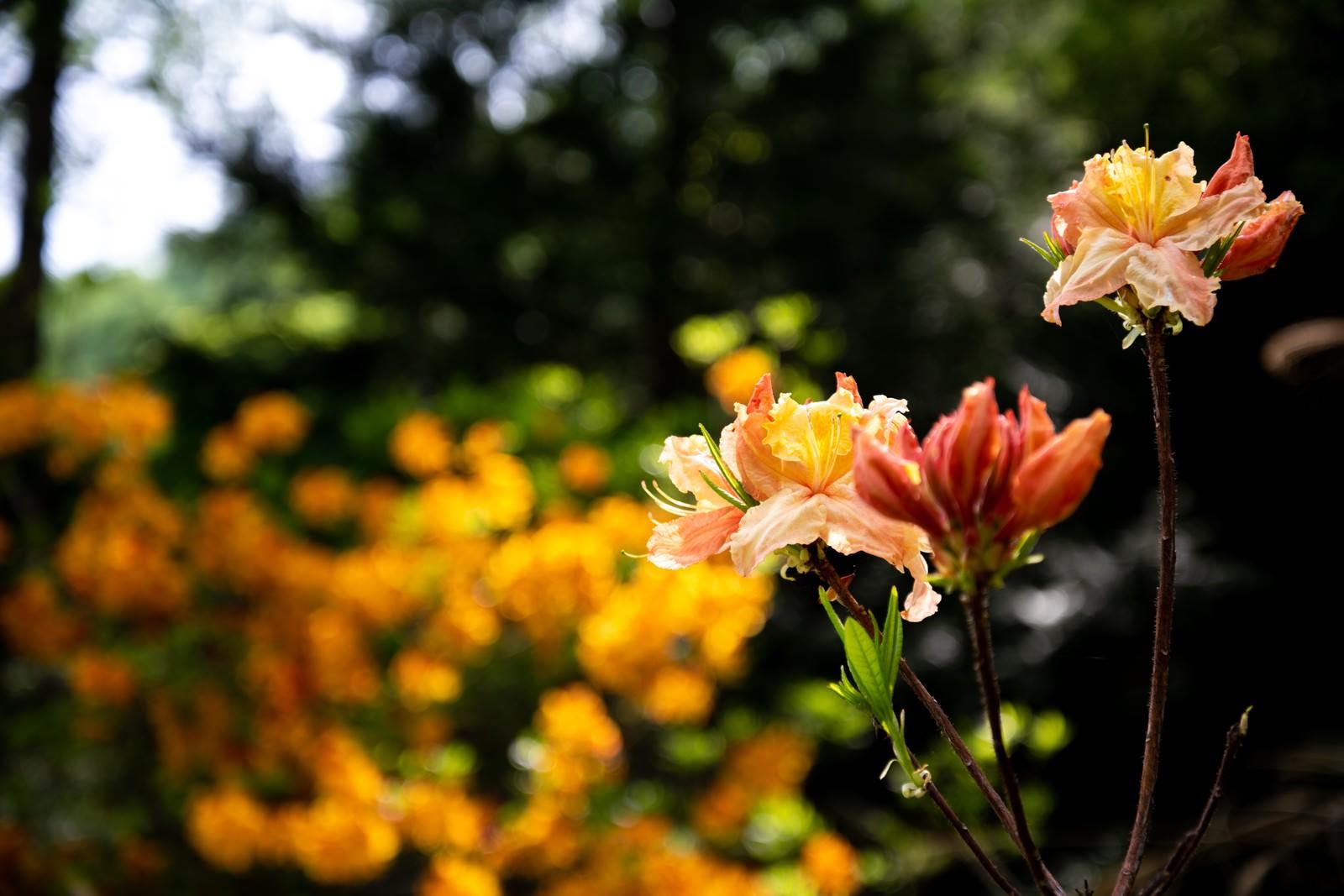 「群生地に咲くエクスバリーアザレア(小沢根)」の写真