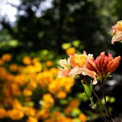 群生地に咲くエクスバリーアザレア(小沢根)の写真