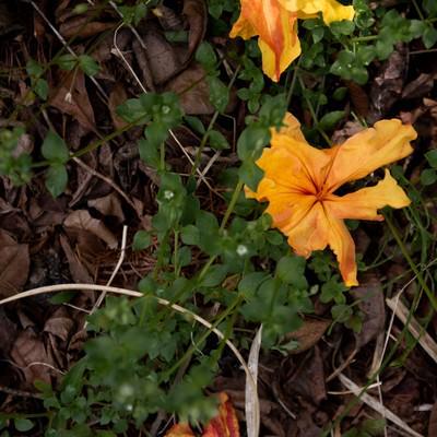 エクスバリーアザレアの落ち花(小沢根)の写真