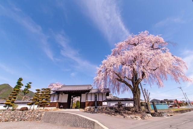 満開の枝垂桜と信広寺の写真