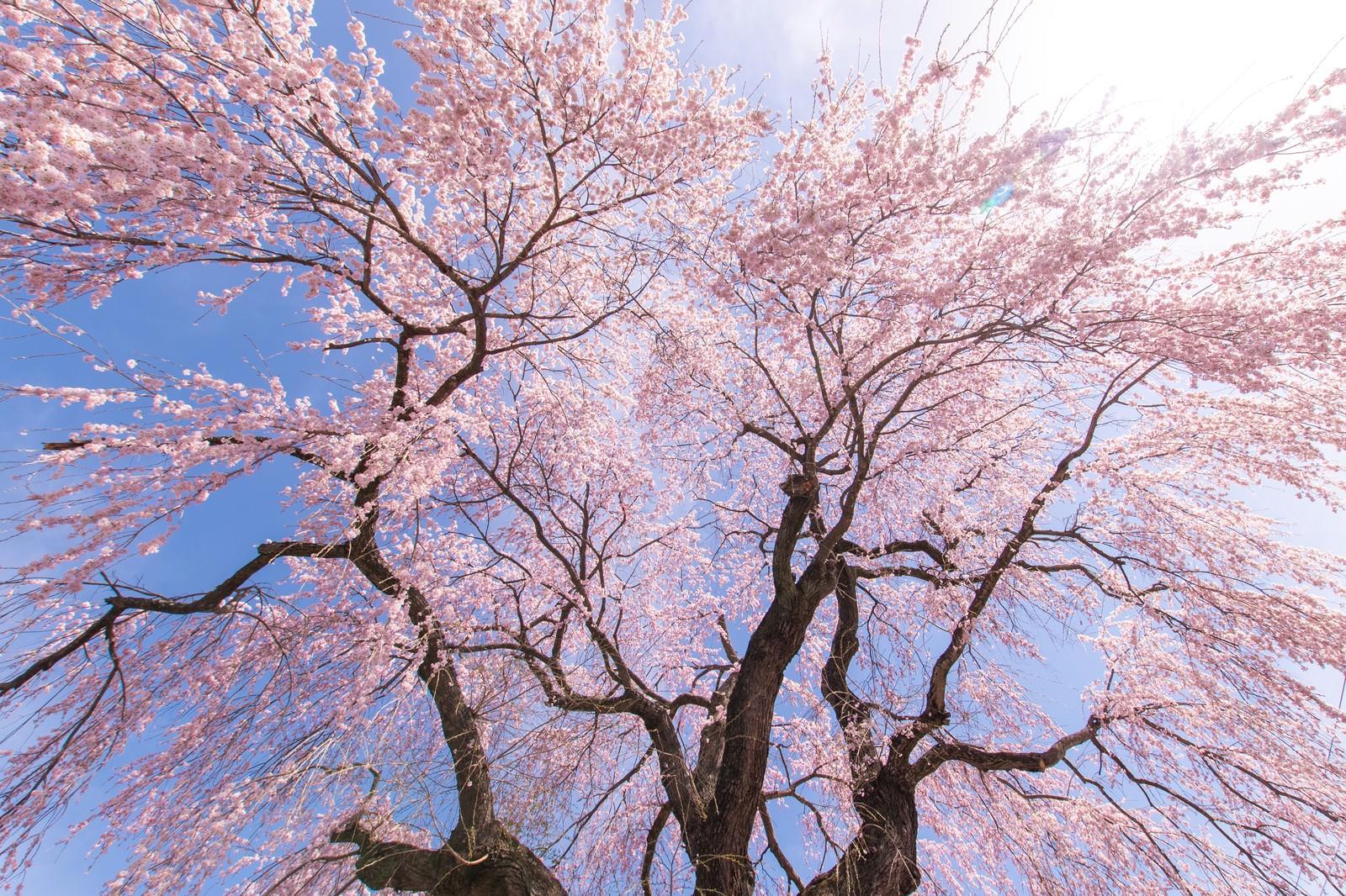 「咲き誇る信広寺のシダレザクラ」の写真