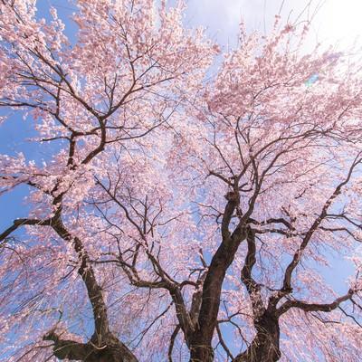咲き誇る信広寺のシダレザクラの写真