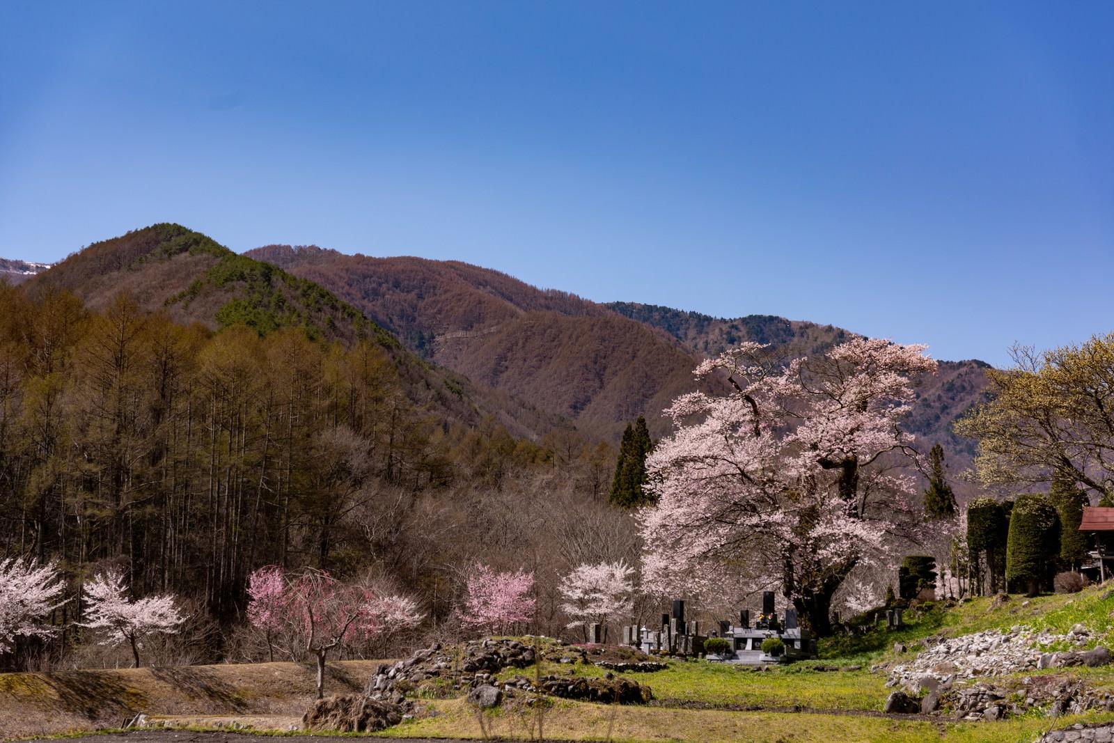 「山の麓に咲く大布施のヒガンザクラ」の写真