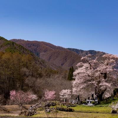山の麓に咲く大布施のヒガンザクラの写真
