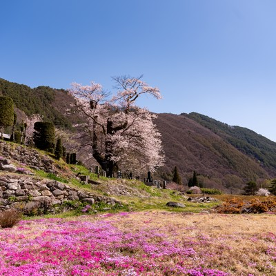 大布施のヒガンザクラと芝桜の写真