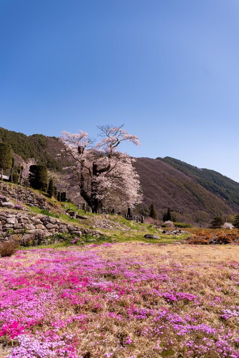 「大布施のヒガンザクラと芝桜」の写真