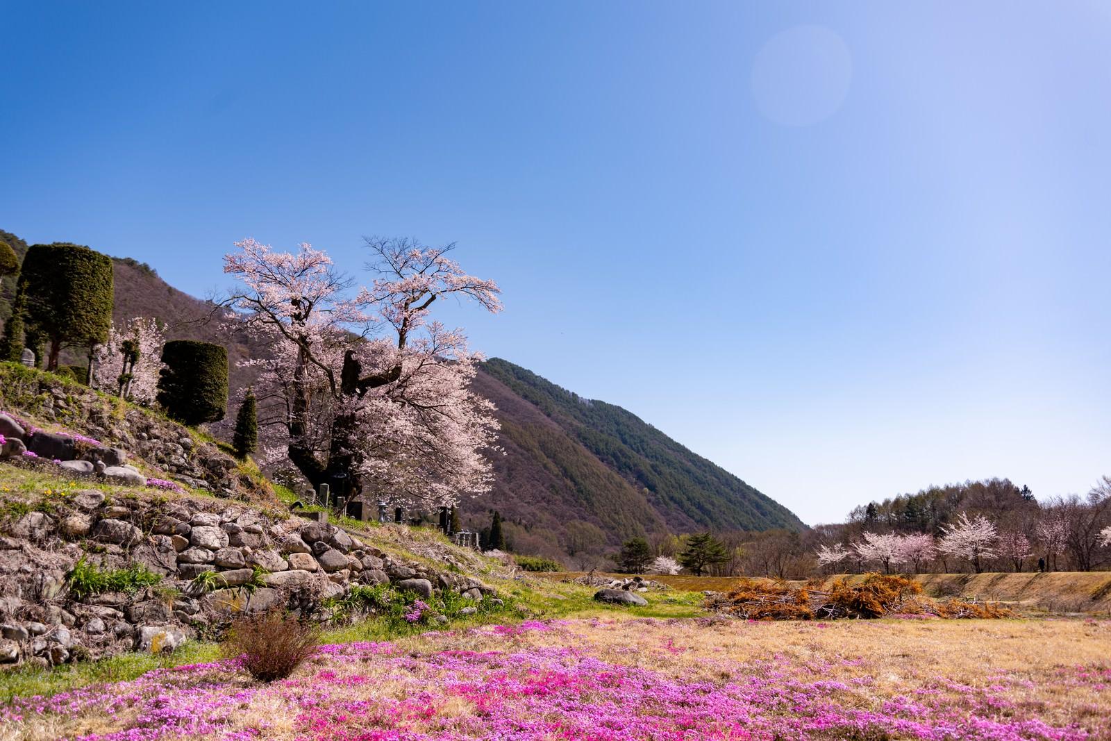 「大布施の彼岸桜と芝桜の風景」の写真
