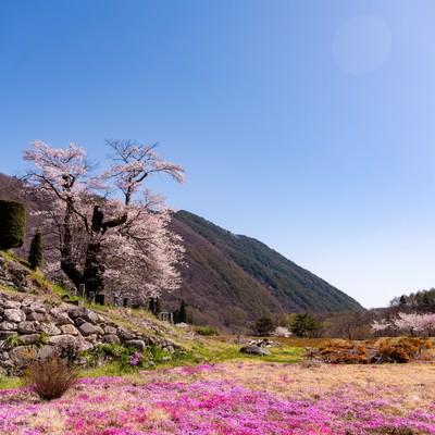 大布施の彼岸桜と芝桜の風景の写真