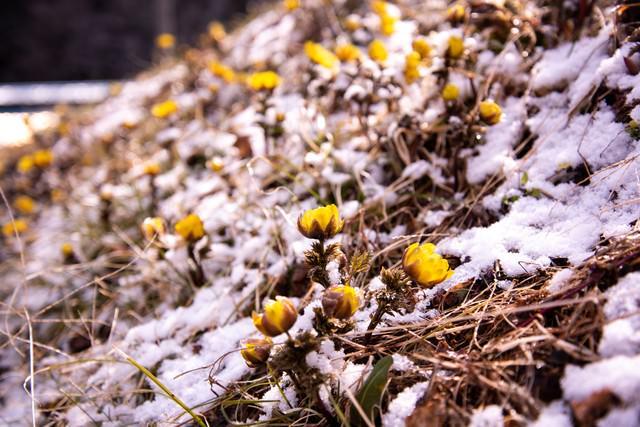 残雪の中、花咲く福寿草群生地(唐沢)の写真