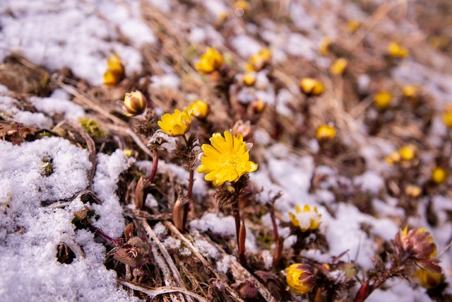 春の訪れを感じる群生地の福寿草(唐沢)の写真
