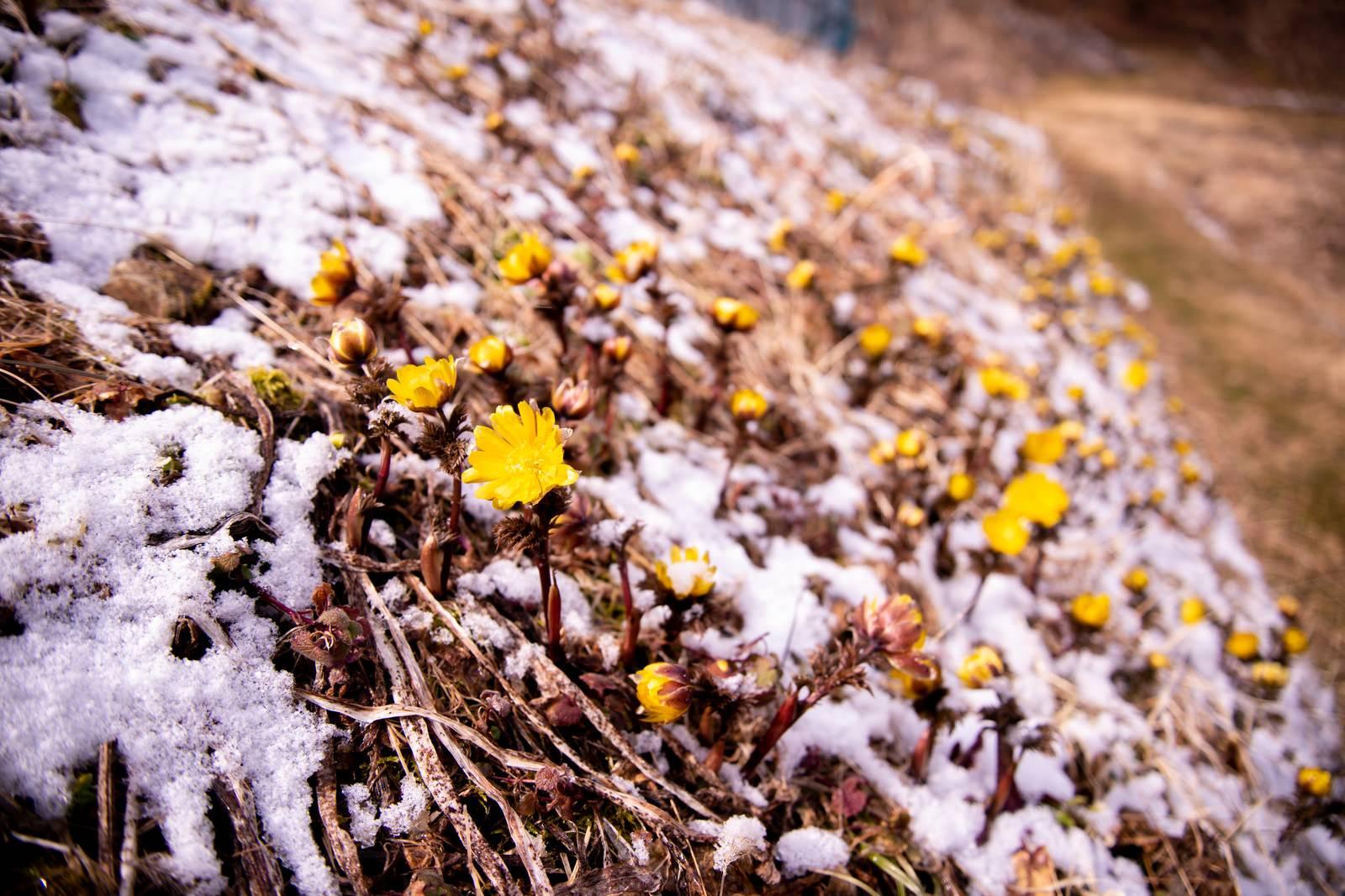 「雪が残る斜面に群生する福寿草(唐沢)」の写真