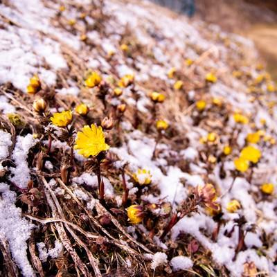 雪が残る斜面に群生する福寿草(唐沢)の写真