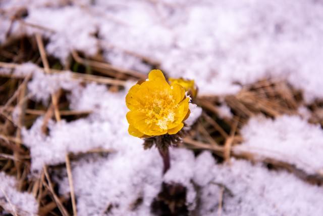 雪から顔を出す福寿草の花の写真