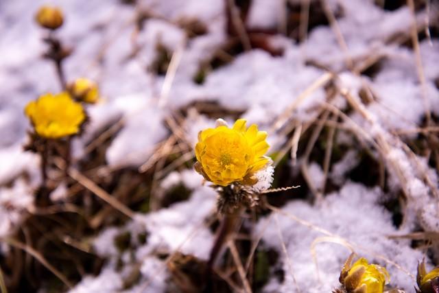 春の訪れを知らせる福寿草の開花(唐沢)の写真