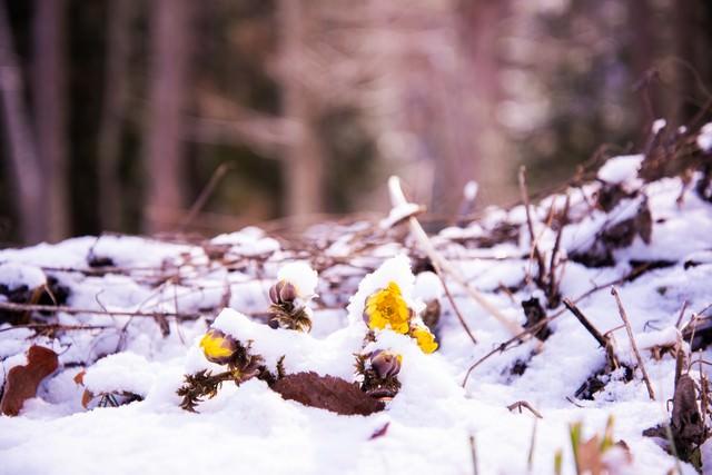 雪に埋もれる春の訪れ福寿草(唐沢)の写真