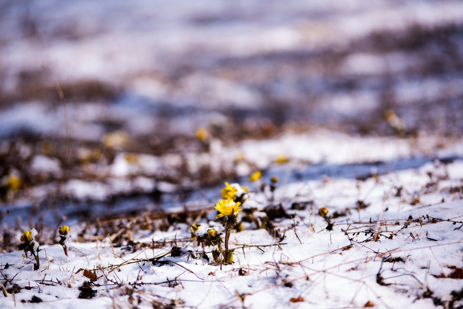 「群生地で始まる福寿草の開花(唐沢)」の写真