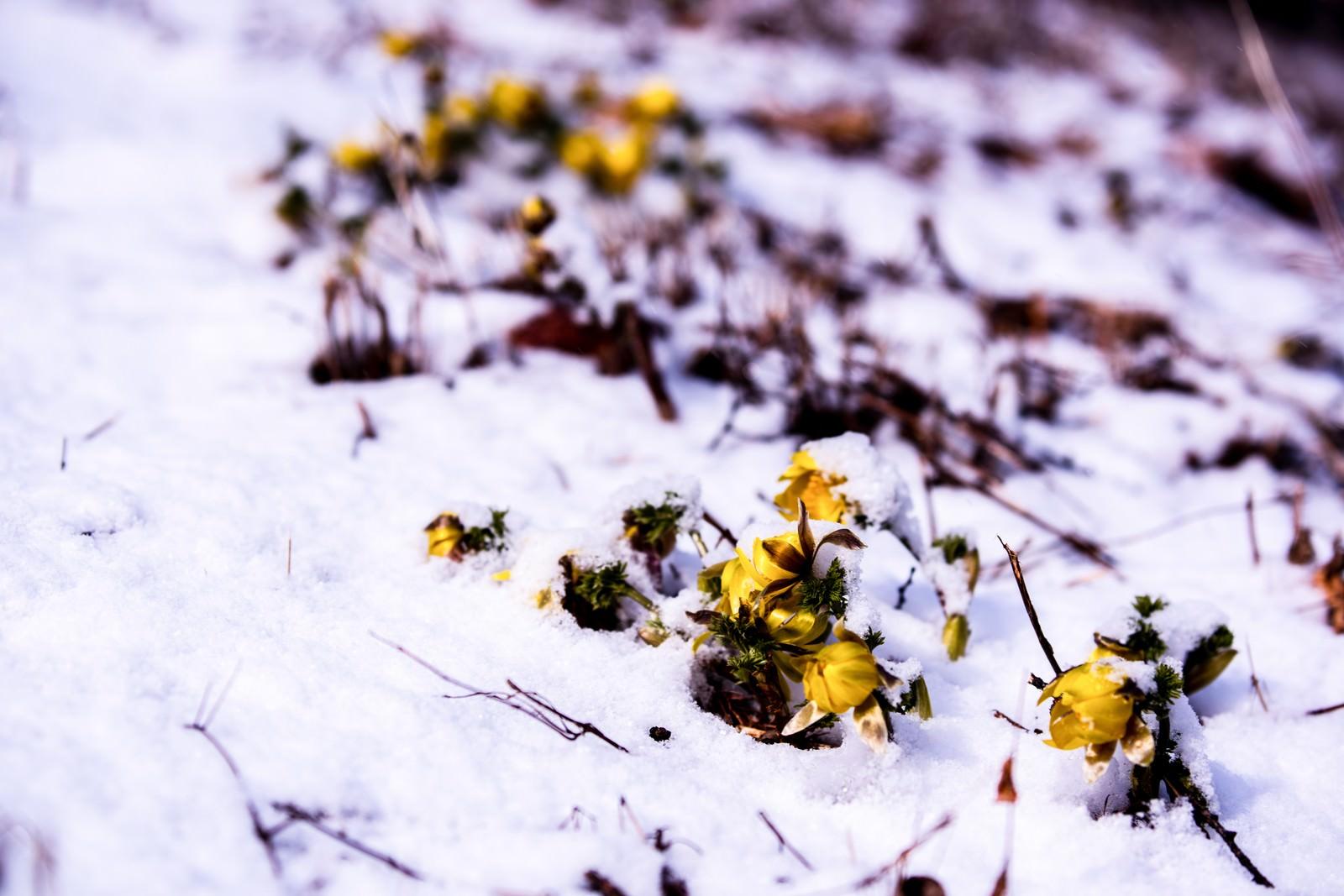 「残雪と福寿草の蕾(唐沢)」の写真