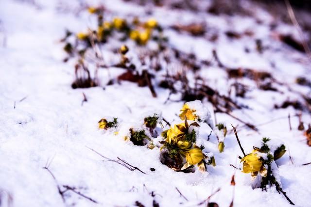 残雪と福寿草の蕾(唐沢)の写真