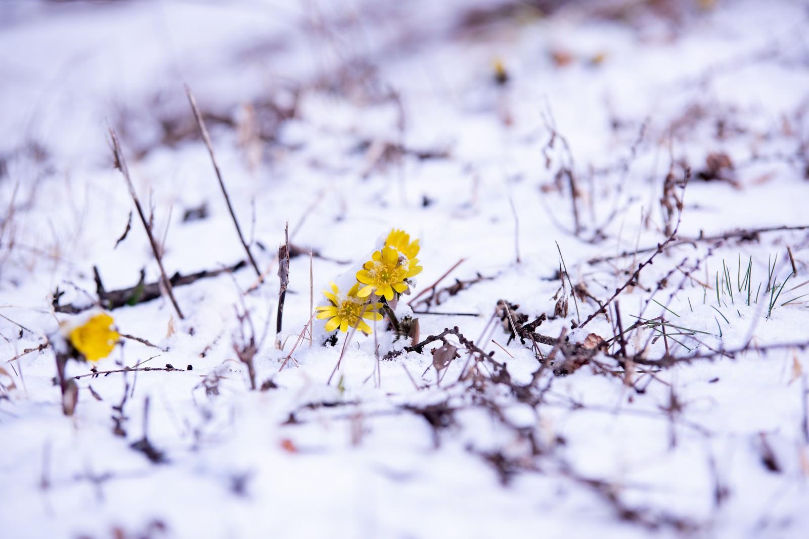 「残雪の群生地で開花する福寿草(唐沢)」の写真