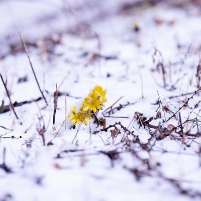 残雪の群生地で開花する福寿草(唐沢)の写真