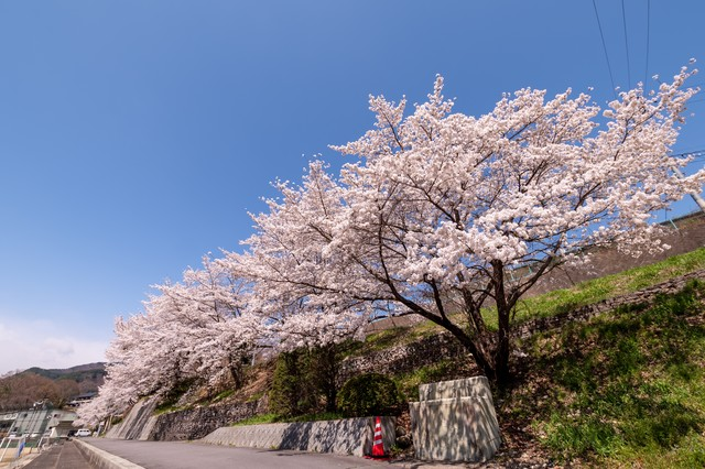 武石グラウンドの道路沿いに咲く桜の写真
