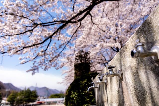 水飲み場の蛇口と満開の桜(武石グラウンド)の写真