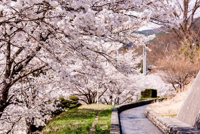 武石グラウンドの歩道沿いに咲く桜並木の写真