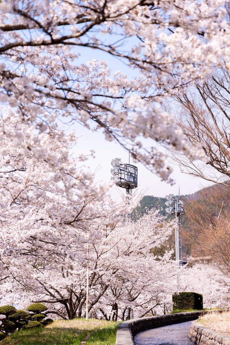 「武石グラウンドの歩道沿いに続く桜並木」の写真