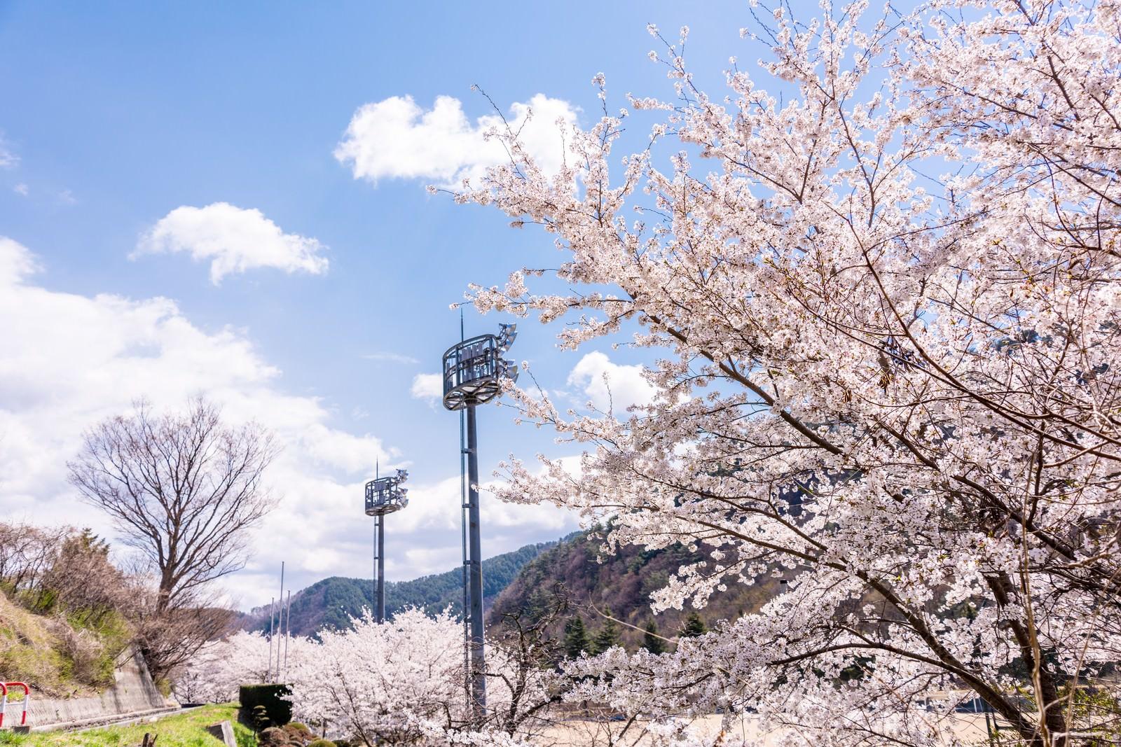 「並木桜とグラウンド照明(武石グラウンド)」の写真