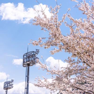 武石グラウンドの照明設備と満開の桜の写真
