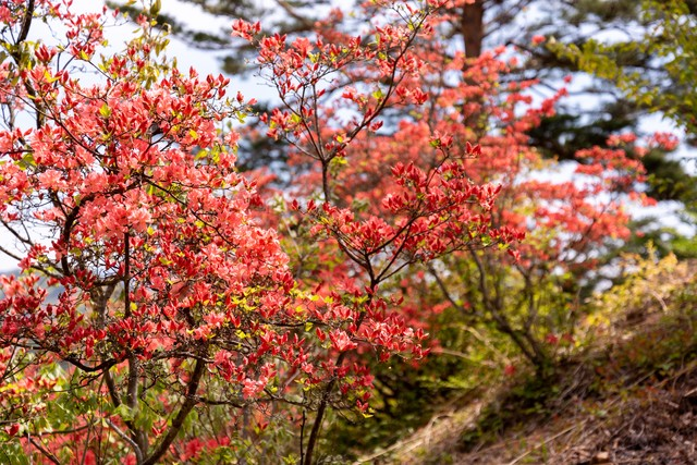 開花がはじまるツツジの写真