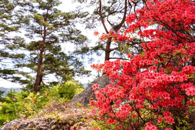 満開のツツジ(武石公園)の写真