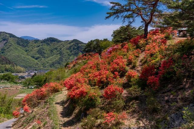 斜面を染めるツツジ(武石公園)の写真