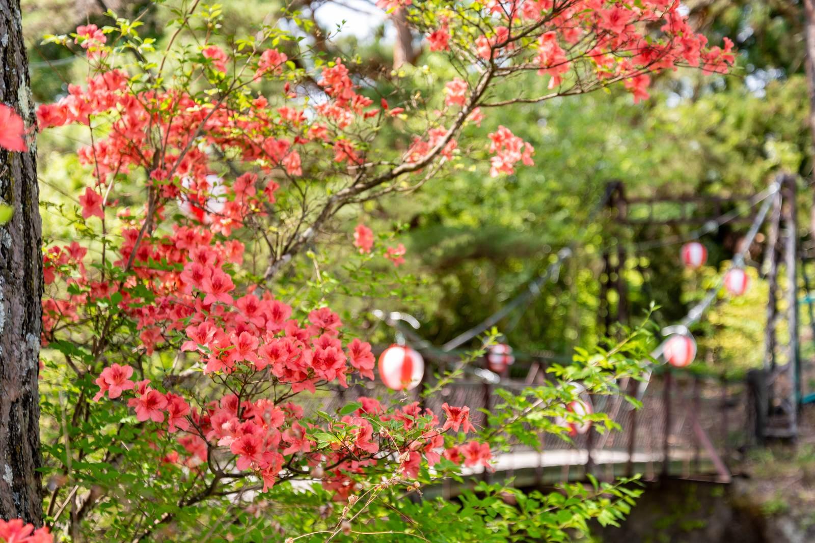 「吊橋前に咲くツツジ(武石公園)」の写真