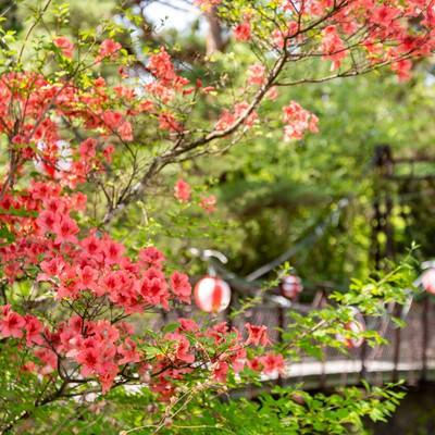 吊橋前に咲くツツジ(武石公園)の写真