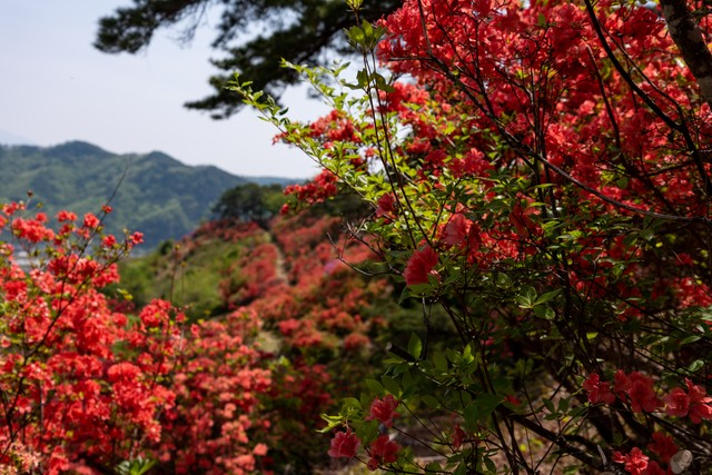 武石公園の辺り一面のツツジの写真
