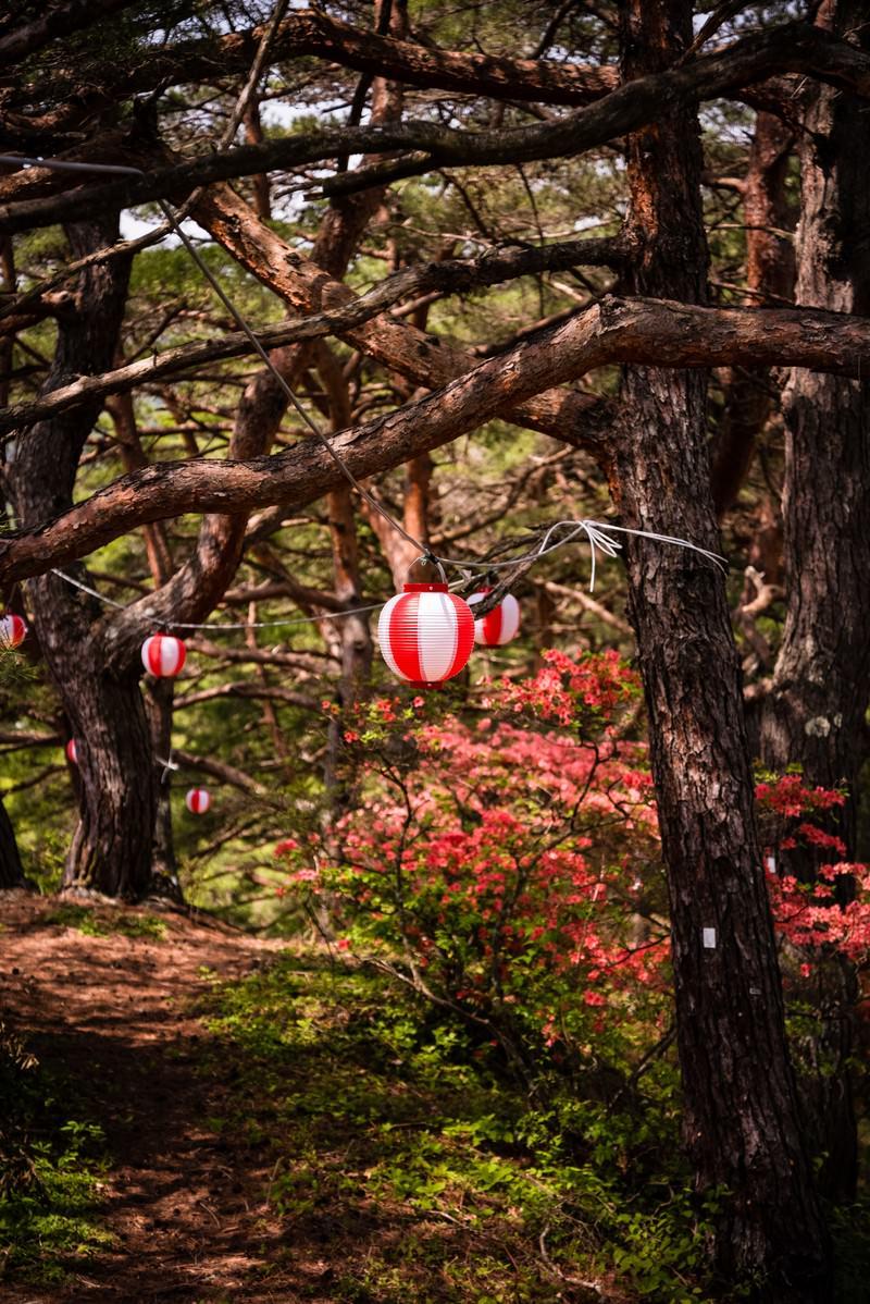 「道沿いに咲くツツジと提灯」の写真