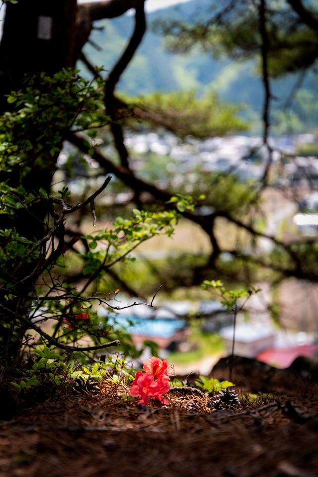 ツツジの落ち花(武石公園)の写真