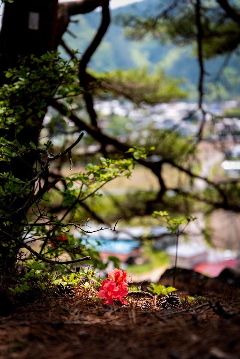 「ツツジの落ち花(武石公園)」の写真