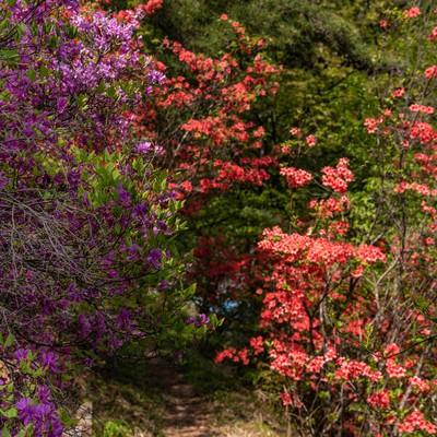 二色のツツジを抜ける道の写真