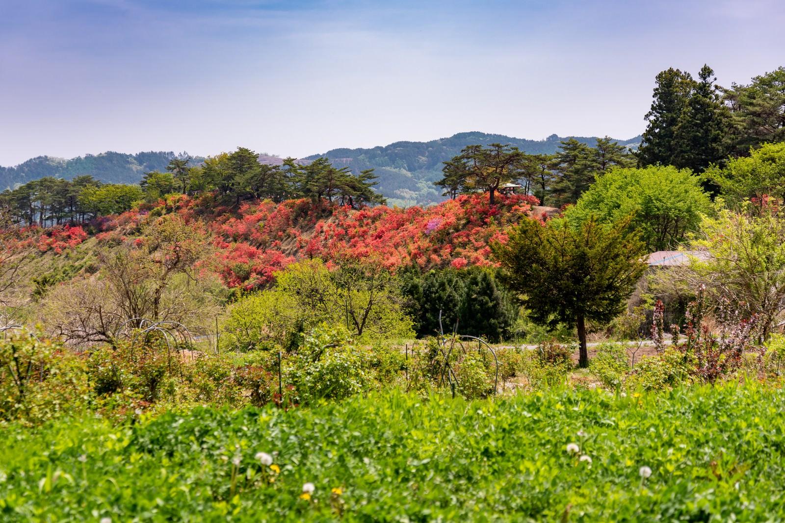 「山の傾斜を彩る武石公園のツツジ」の写真